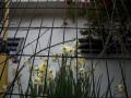 11L-水仙と牡丹